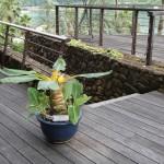 ホテルに珍しい植物が仲間入りです。その成長を覗きにきませんか?